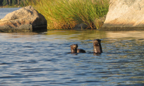 Creature Feature: River Otter