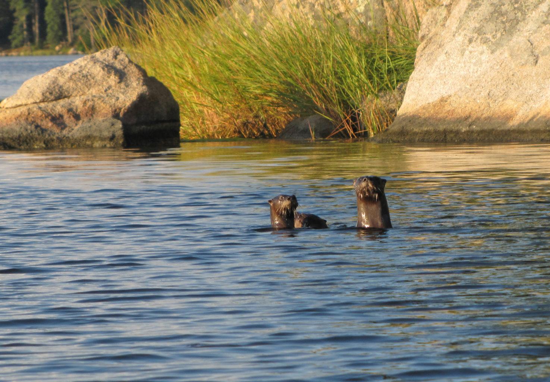 river otters Bagaduce River