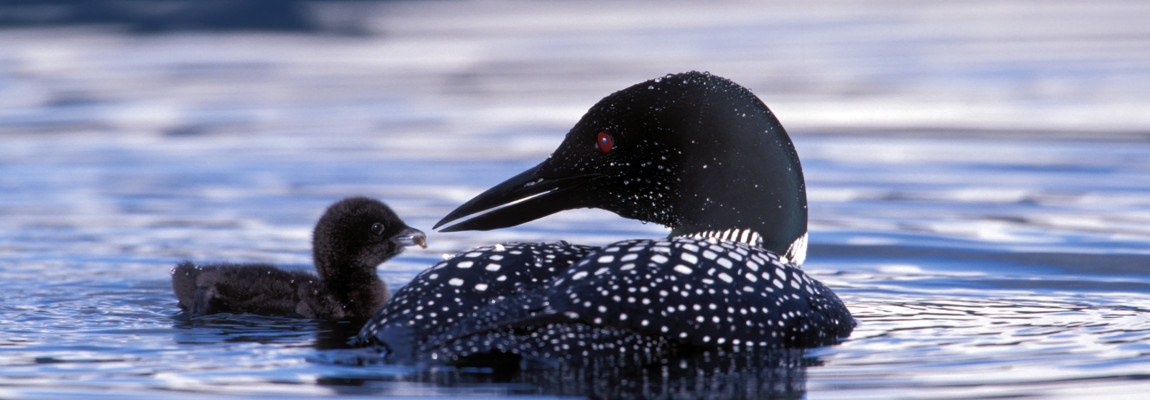 loon and chick MED file