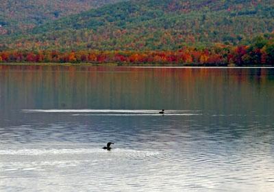 Loons on Wilson Lake. Photo by Tony Nazar of Wilton, Maine