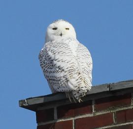 Snowy Owl by Marie Jordan