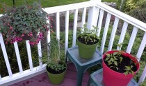 potted pepper plants