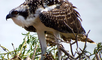 osprey by Susan Eilers Craig