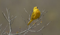 Yellow Warbler. Photo by Pam Wells.