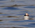 A puffin floating just off Eastern Egg Rock