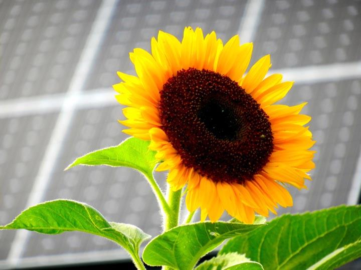 solar with sunflower by Judy Berk