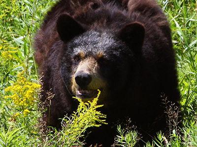 Creature Feature: Black Bear