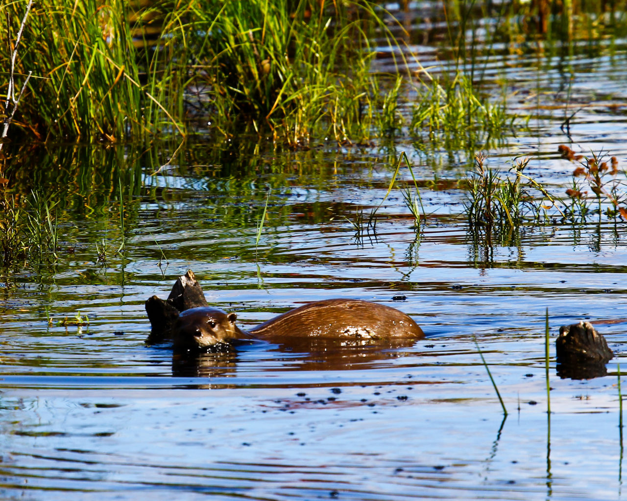 River Otter photo by David Small