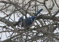 Blue Jay in the Branch Pile
