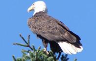 Ba;d Eagle