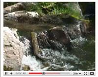 Sea Lamprey Video