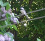 One of the chickadee parents (shown here, sorry it's out of focus) did not like what they saw down there on the ground and complained loudly about it!