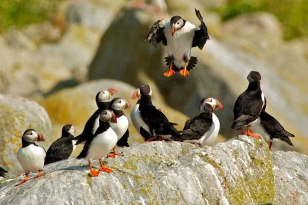 Atlantic puffins pic by Gerard Monteux