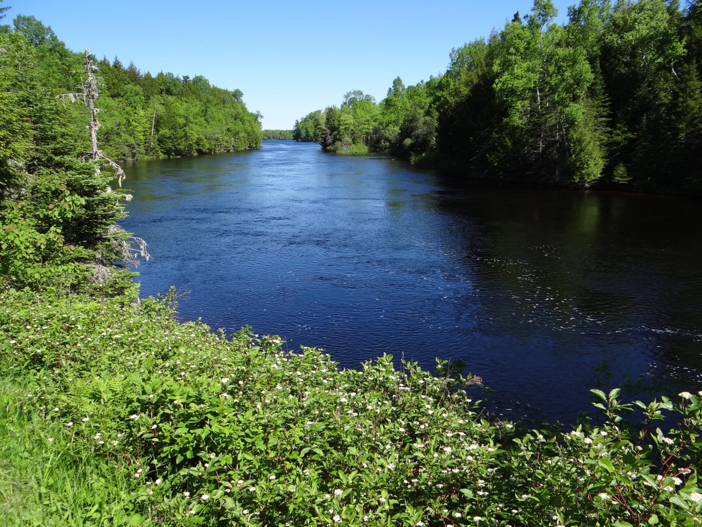 restoring alewives to the st  croix river