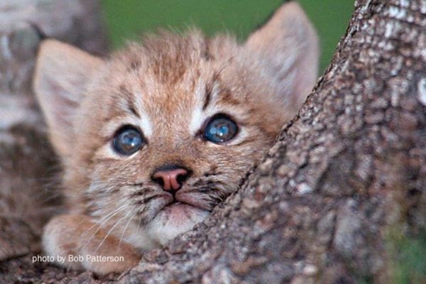baby lynx photo by Bob Patterson