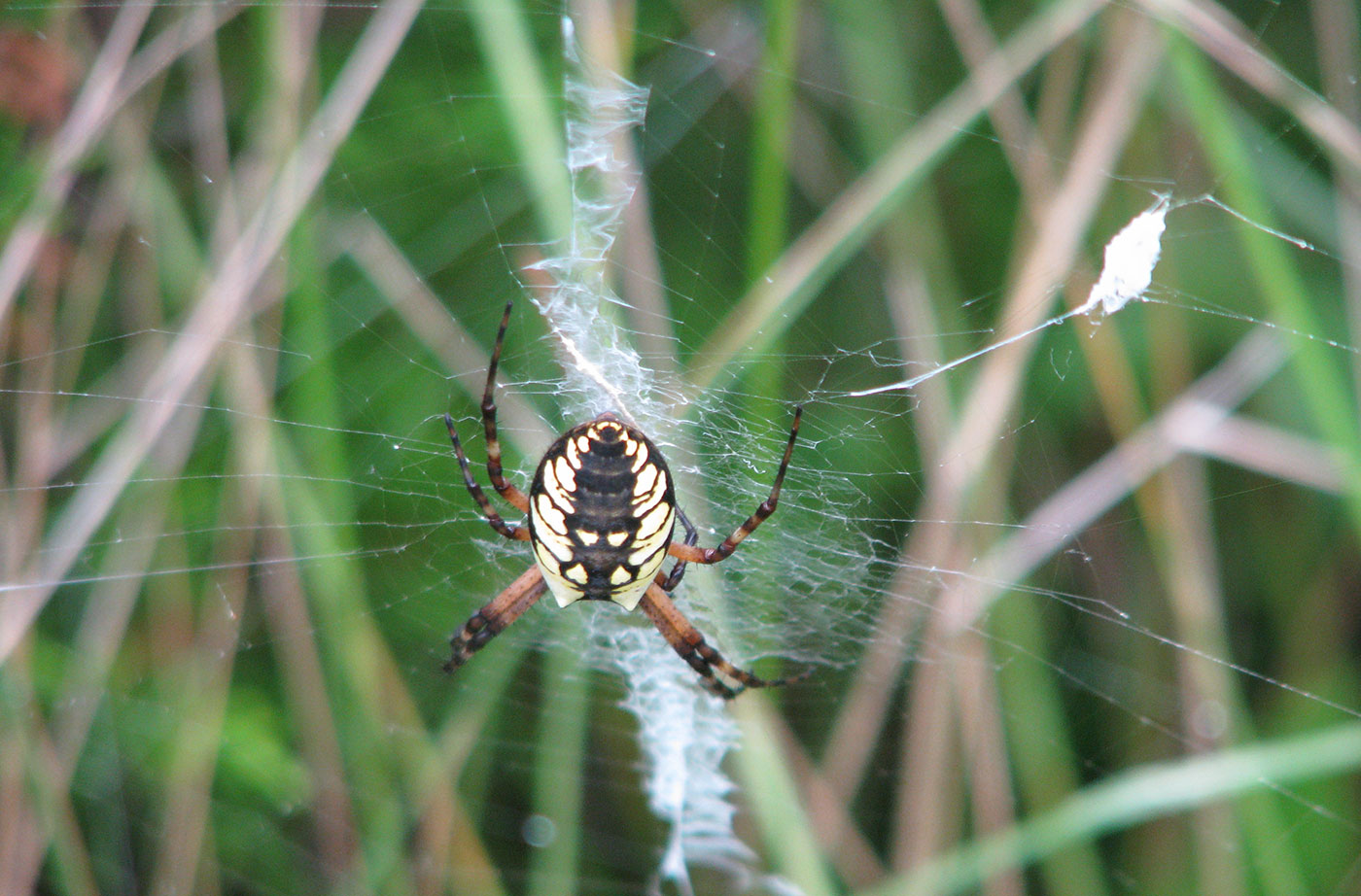 Black and yellow garden spider