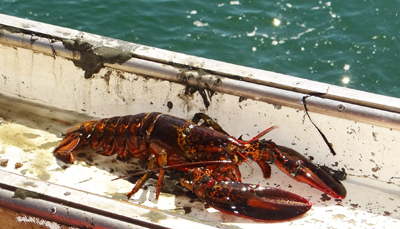 freshly caught lobster in Atlantic Ocean
