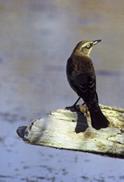 Rusty Blackbird. Photo by USF&WS