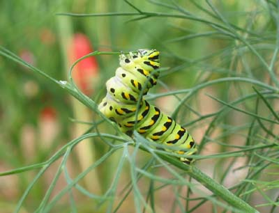 """Black swallow-tailed caterpillar. This photo by Terry Sprague is part of our """"My Maine This Week"""" traveling photography exhibit."""