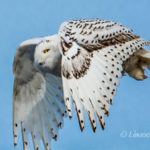 Snowy Owl by Linwood Riggs