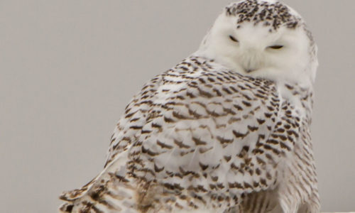 Creature Feature: Snowy Owl
