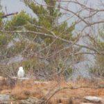 Snowy Owl Mt. A