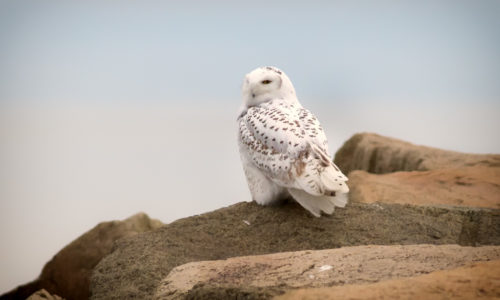 Snowy Owl Kennebunk Beach