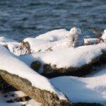 Snowy Owl, Kettle Cove, Cape Elizabeth, by Bill Bunn