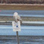 Snowy Owl in Biddeford Pool