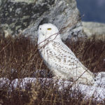 Snowy Owl at Clary Hill