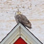 Snowy Owl at Nubble Light