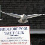 Snowy Owl at Biddeford Pool