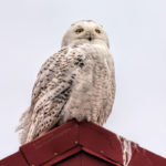 Snowy Owl by Tim Rooney
