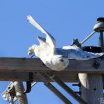 Snowy Owl in East Hampden