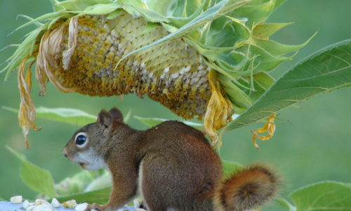 squirrel and sunflower