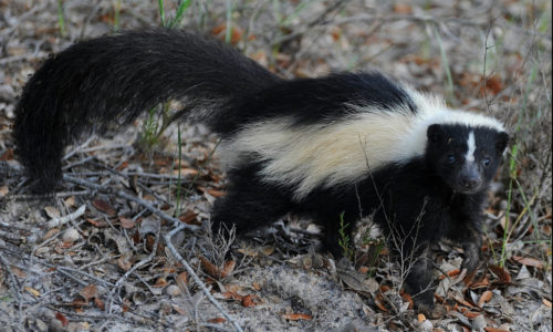 skunk by Brian Garrett