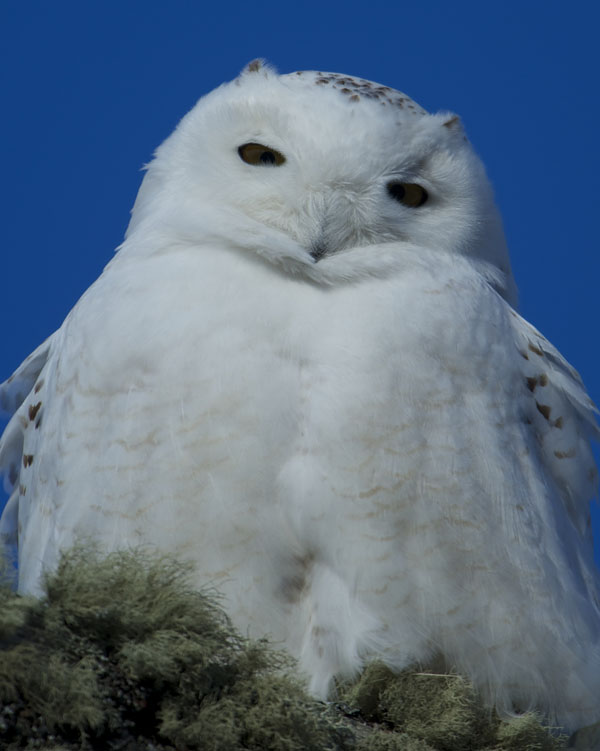 Snowy Owl by Gerard Monteux