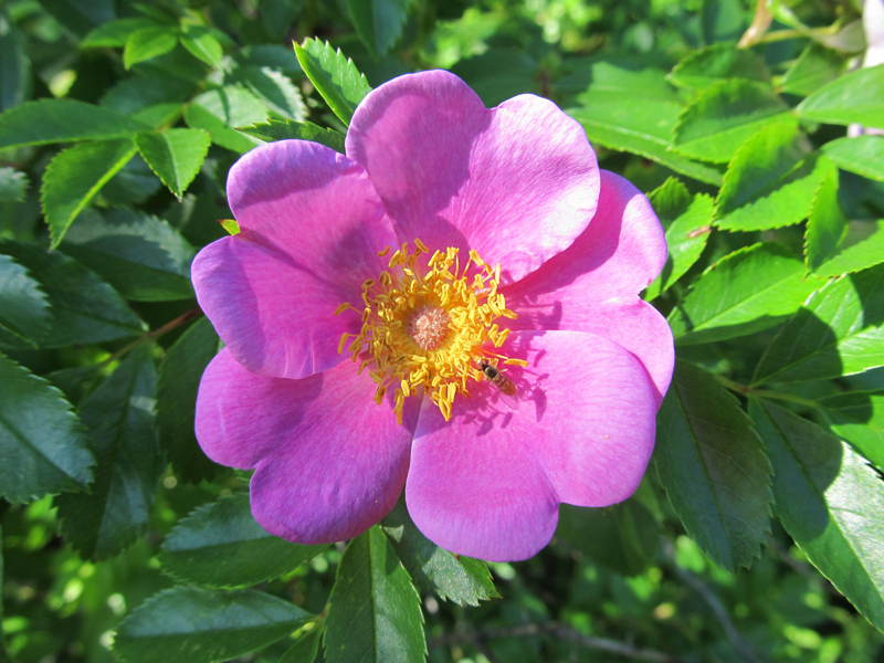 rugosa rose - Popham Beach