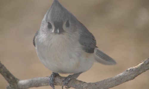 tufted titmouse, bird