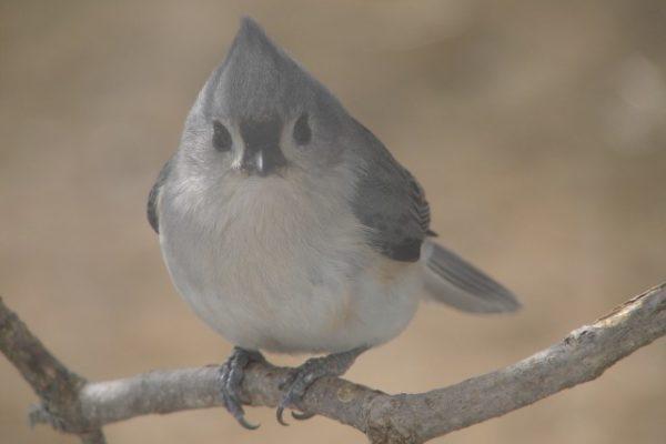 tufted titmouse, bird
