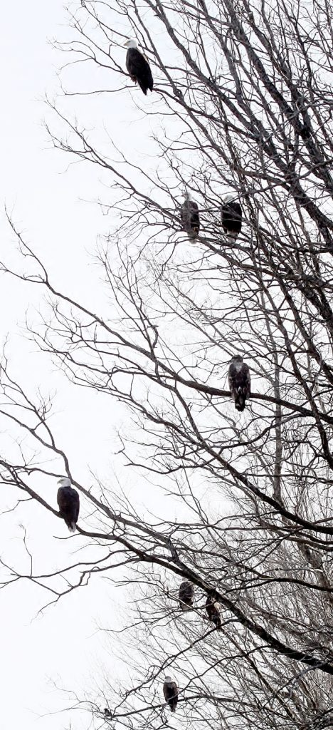 Sebasticook River Bald Eagles