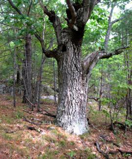 Ancient Red Oak