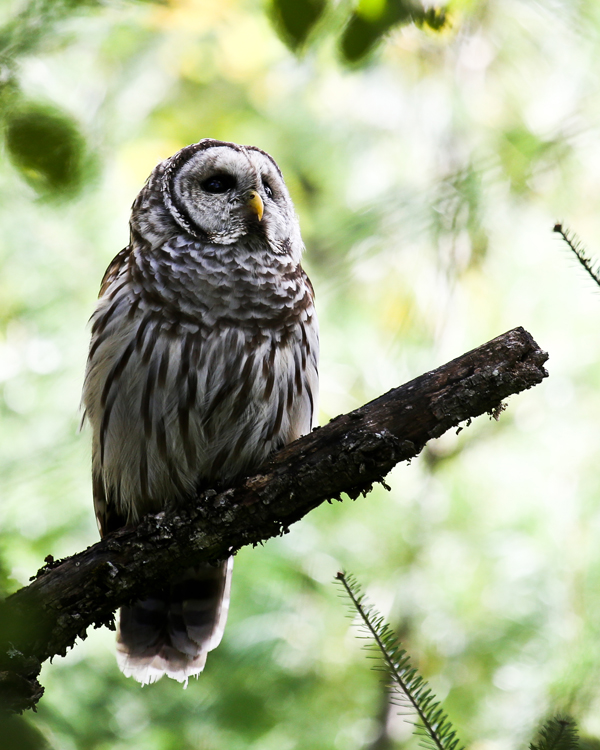 Barred Owl Plymouth Bog Maine Wildlife Management land