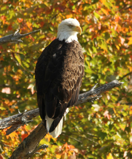 Bald Eagle in Surry