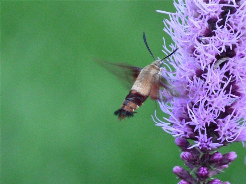Sphinx moth
