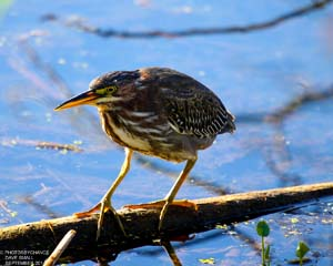 Green Heron photo by Dave Small