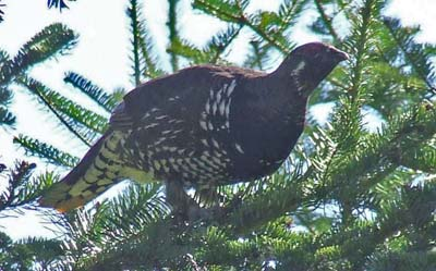 Spruce Grouse by Allison Wells