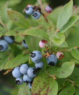 Blueberries in Greenville. Photo by Dyanna Czeck.