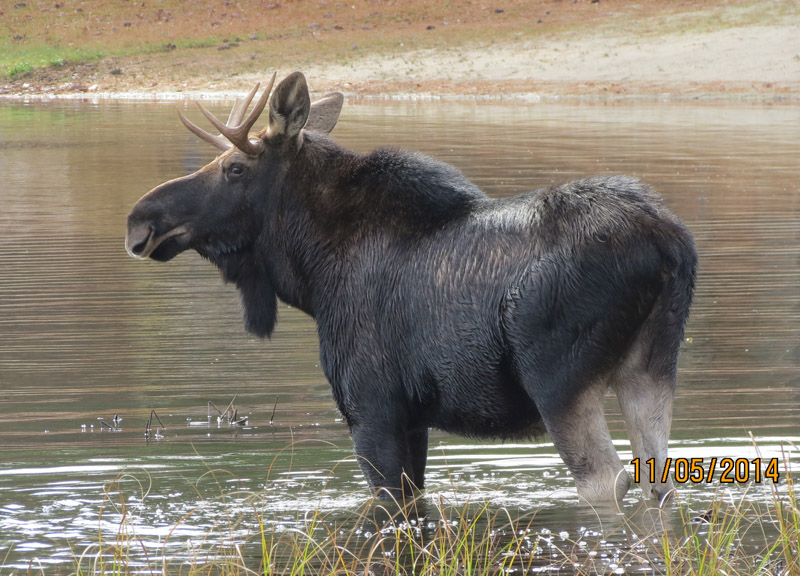 Moose in Brownfield by Ellen Wiggin