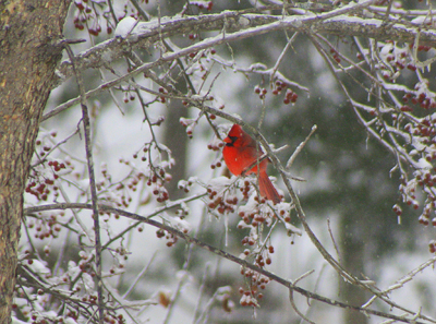 cardinal in Hallowell winter Jeremy Shaeffer